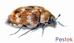 Carpet beetle control services in Leeds